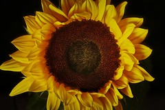 Sunflower (Michael Schönborn) Tags: nx500 nx50200f456 samsung makro macro closeup sunflower flower plant blossom yellow focusstacking stacked