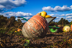 The farmer began collecting pumpkins. (ivan_volchek) Tags: agriculture autumn background celebration color concept crop decoration fall farm field floral food fresh garden grass green ground halloween harvest healthy holiday leaf lying meadow nature october orange organic patch pile plant pumpkin pumpkins ripe season seasonal shape squash stem sunny thanksgiving vegetable yellow