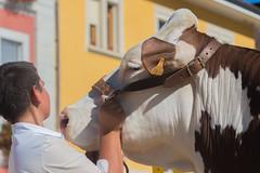 vache race Abondance - Bonneville - Haute Savoie (Christian Tessier) Tags: christiantessier animalélevage race vache agriculture mammifère ferme alpes
