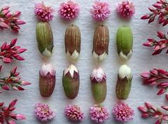 Good KNOLLING Everybody.......Macro Mondays (Lani Elliott) Tags: macro upclose closeup buds flowers bokeh pretty floralimage pink pinkflowers patterned textured macrounlimited whitebackground knolling macromondays