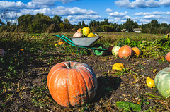 Panorama of a field where a farmer collects a pumpkin crop. (ivan_volchek) Tags: agriculture autumn background celebration color concept crop decoration fall farm field floral food fresh garden grass green ground halloween harvest healthy holiday leaf lying meadow nature october orange organic patch pile plant pumpkin pumpkins ripe season seasonal shape squash stem sunny thanksgiving vegetable yellow