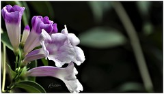 """""""Whoever is happy will make others happy too."""" _ Anne Frank. (Ramalakshmi Rajan) Tags: flowers flower inmygarden nikon nikond5000 nikkor70300mm quotes"""