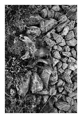 (David Ian Ross) Tags: juvenile stilllife davidrossphotography davidianrossphotography fox vulpesvulpes september sport unnecessary inhuman