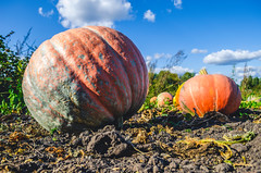 Autumn harvest of pumpkins in the countryside. (ivan_volchek) Tags: agriculture autumn background celebration color concept crop decoration fall farm field floral food fresh garden grass green ground halloween harvest healthy holiday leaf lying meadow nature october orange organic patch pile plant pumpkin pumpkins ripe season seasonal shape squash stem sunny thanksgiving vegetable yellow
