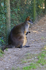 Swamp Wallaby (zoofoto.nl) Tags: wallabiabicolor diergaardeblijdorp rotterdamzoo moeraswallaby swampwallaby