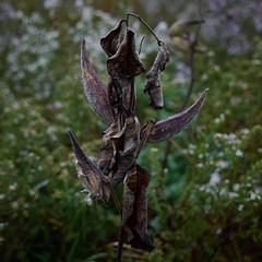 milkweed, during drizzle, 9-29-19 (wbhmatthies) Tags: milkweed leaves seadpods fall rain drizzle panasonic s1 gcs1 capture one 12 pro captureone12pro wild wilhelmmatthies