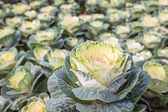 Wet ornamental cabbages from close (RuudMorijn-NL) Tags: agriculture autumn beautiful bloom blossom brassica cabbage closeup color colorful cultivated decoration decorative detail dew droplets fall farm flora flower foliage foreground fresh freshness garden gardening green growing horticulture kale leaf leaves morning nature nursery oleracea organic ornamental ornamentalcabbage outdoors pattern pearls plant row season texture vegetable water wet yellow druppels dauw wwaterdruppels parels parelend blad balderen textuur geel sierkool bloem buiten tuinbouw kwekerij vollegrondstuinbouw rij plantenkwekerij