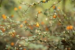 Pittosporum spinescens (louisa_catlover) Tags: maranoa maranoagardens balwyn melbourne victoria australia spring september outdoor garden nature plant native australian bokeh dof