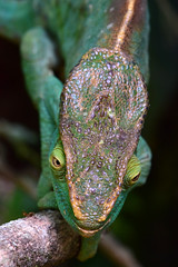 Parson's chameleon - Calumma parsonii (johco266) Tags: parsonschameleon calummaparsonii chameleon lizard kameleon reptielen reptiles reptiel lagarto nature natuur natur naturaleza eidechse macro macrophotography nikon madagascar andasibe caméléon coth5