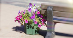 The library bench (Elisafox22) Tags: elisafox22 sony nex6 lensbaby composerpro 50mm optic sweet50 hbm benchmonday bench flowers planter sunshine shadows rainbows lenseffect roadside library turriff aberdeenshire scotland outdoors elisaliddell©2019