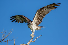 Osprey Takeoff (dbadair) Tags: outdoor dennis adair raptor hawk flight sky nature wildlife 7dm2 7d ii ef100400mm canon florida bird