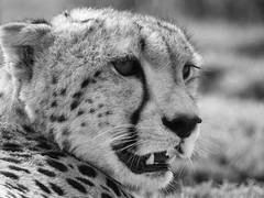 CHEETAH (eliewolfphotography) Tags: cheetah cheetahs conservation conservationphotography bigcats blackandwhite animals africa african safari serengeti serengetinationalpark safariphotography tanzania travel nature naturelovers nikon naturephotography natgeo naturephotographer natgeowild
