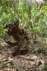 Wurzelwerk (Forest Finance Fotos) Tags: panama schutzwald losmonos wurzel
