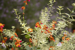 Chorizema and Westringia (louisa_catlover) Tags: maranoa maranoagardens balwyn melbourne victoria australia spring september outdoor garden nature plant native australian bokeh dof