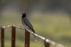 black faced cuckoo shrike (crispiks) Tags: black faced cuckoo shrike nikon d500 200500 f56 birdlife carrolls creek wodonga north east victoria