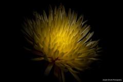 Chrysanthemum (josephzmuda2) Tags: fineart northamerica pennsylvania pittsburgh stilllife plant selectivefocus day autumn nopeople blackbackground singleflower closeup macro petals plants nature flora botanical floral flower yellow mums chrysanthemum