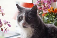 Totte (josefinenylander) Tags: baby cat forest forescat totte portrait flowers windowsill window eyes gray cute sonya200