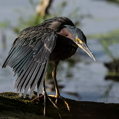 Green Heron [Butorides virescens] (Explored) (Fred Roe) Tags: nikond7100 nikonafsnikkor200500mm156eed nature naturephotography national wildlife wildlifephotography animals birds birding birdwatching birdwatcher heron greenheron butoridesvirescens colors outside flickr feet peacevalleypark