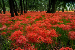 Bright red (yasky0786) Tags: cluster amaryllis red green happyplanet asiafavorites kinchakuda saitama 巾着田 曼珠沙華 彼岸花