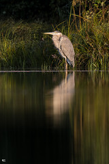 ''Le solitaire!'' Grand héron-Great blue heron (pascaleforest) Tags: kayak canada quebec faune wildlife wild nikon passion animal bird oiseau