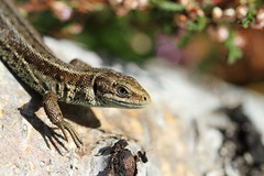 Local patch lizard. (ChristianMoss) Tags: viviparous lizard zootoca vivipara reptile eppingforest common outside