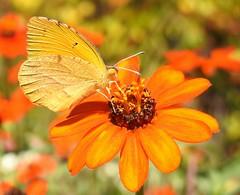 Sleepy Orange (annette.allor) Tags: abaeisnicippe sleepyorange butterfly