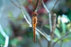 dragonfly (Lr Home) Tags: macro a6000 nature meikemacroextension