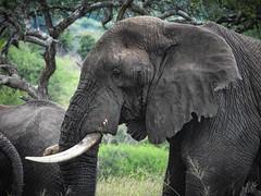 AFRICAN ELEPHANT (eliewolfphotography) Tags: tanzania tarangire tarangirenationalpark animals africa african elephant elephants nature naturelovers nikon naturephotography natgeo naturephotographer natgeowild animalportraits