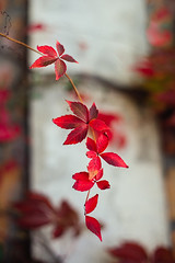 Autumn has arrived (Inka56) Tags: crazytuesday leaves red autumn autumncolors vines colorful bokeh flora plant dof