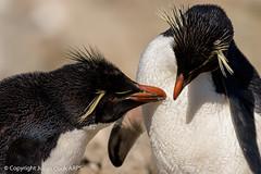 Rockhopper penguins (Julian Cook Photography) Tags: bird birds cliffs eudypteschrysome falklandislands newisland penguin rockhopperpenguin rocks southamerica summer