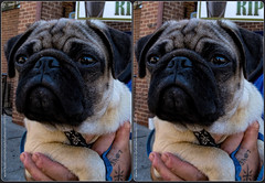 Pug Puppy (Stereo) (Tom.Bentz) Tags: stereo 3d crossview dogs pugs pets macro