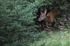 Hirschkuh (wsprecher) Tags: hirsch hirschbrunft rotwild rheintal wildlife wsnaturpic wild gebirge ngc