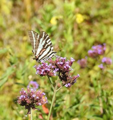 Still Hanging in There (annette.allor) Tags: zebraswallowtail protographiummarcellus butterfly
