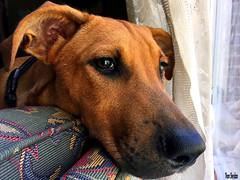 Henry's Tired (Thom Sheridan) Tags: thomsheridan dog mutt hound 2019