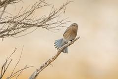 Flare-up (ChicagoBob46) Tags: bird nature wildlife yellowstonenationalpark yellowstone bluebird mountainbluebird coth5 sunrays5 naturethroughthelens ngc npc