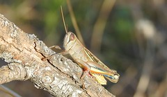 White-banded Grasshopper (Eyprepocnemis plorans) (Nick Dobbs) Tags: whitebanded grasshopper eyprepocnemis plorans insect acrididae