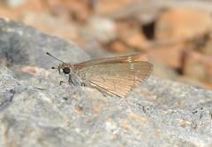Pygmy Skipper (Gegenes pumilio) (Nick Dobbs) Tags: insect butterfly skipper gegenes pumilio pygmy malta lepidoptera
