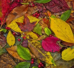 Leaves...Kodachrome emulation...Montage...Saturated colors (Jack Blackstone) Tags: crazytuesday leaves leicaq2 on1edit kodachromeemulation abstract colors autumn nature flora indiana bloomington montage stilllife saturated