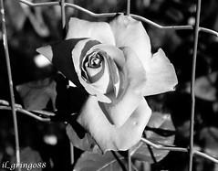 IMG_0836 (mattialaude) Tags: canon60d canon canonitalia passionefotografia scrivereconlaluce levico levicoterme trentino montagna fiori rose