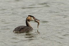 Great crested grebe swallowing a perch (ejwwest) Tags: