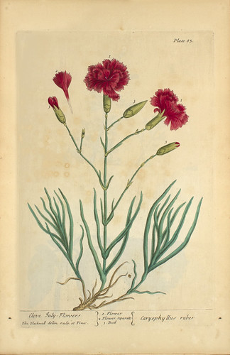 Clove July-flowers =: Caryophyllus ruber