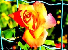 IMG_0837 (mattialaude) Tags: canon60d canon canonitalia passionefotografia scrivereconlaluce levico levicoterme trentino montagna fiori rose
