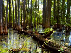 Fallen Cypress Tree (surfcaster9) Tags: cypresstrees mmarsh water wetland swamp lumixg7 lumix20mmf17llasph nature outdoors florida outside