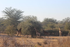 Giraffes (Rckr88) Tags: krugernationalpark southafrica kruger national park south africa giraffes giraffe animals animal nature naturalworld outdoors travel travelling wilderness wildlife