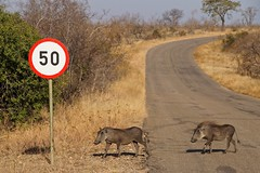 Hey guys, slow down! (juanita nicholson) Tags: warthog southafrica trafficsign road kruger nature wildlife park ngysaex