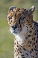 Last cheetah picture (Tambako the Jaguar) Tags: wild portrait male face cat big posing cheetah grass zoo switzerland nikon looking sunny knie d5 rapperswil kinderzoo