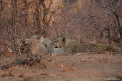 Lying in wait (leendert3) Tags: leonmolenaar southafrica krugernationalpark wilderness wildlife wildanimal nature naturalhabitat naturereserve mammals africanlion ngc npc