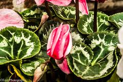 Fiore Chiuso Da Giardino (federicoloforte) Tags: fiore piante plant flower garden giardino bw hdr highdynamicrange altagammadinamica