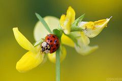 Wild and Beautiful (Vie Lipowski) Tags: ladybug ladybird ladybeetle birdsfoot trefoil lotus corniculatus insect bug beetle weed flower wildflower wildlife nature macro