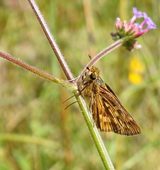 I'm Exhausted (annette.allor) Tags: fieryskipper butterfly hylephilaphyleus